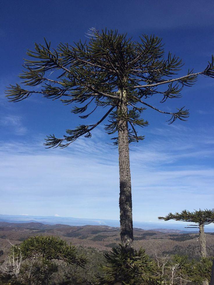 Parque Nacional Nahuelbuta. Región de la Araucania