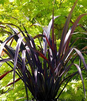 Phormium Dark Delight from The Garden Sage