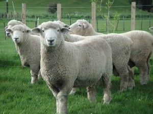 new zealand romney sheep - Google Search