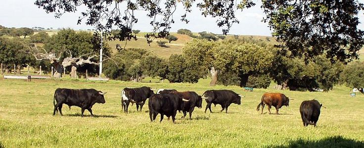 Salamanca - Dehesa - #Toros de lidia #bull #horses #caballos