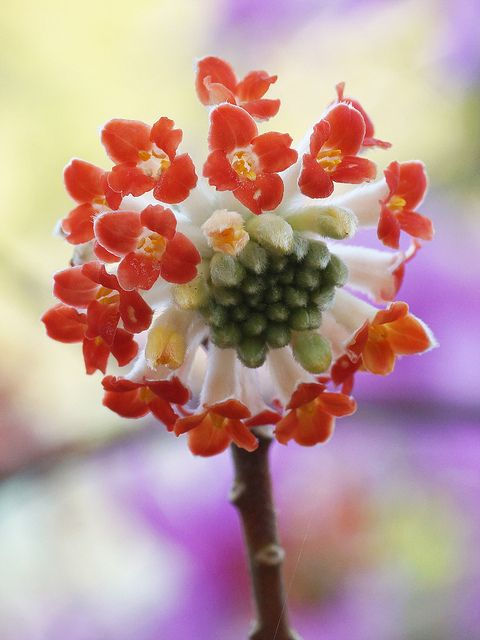 Winter-blooming and fragrant. Edgeworthia chrysantha, the hard-to-find red-flowered form.