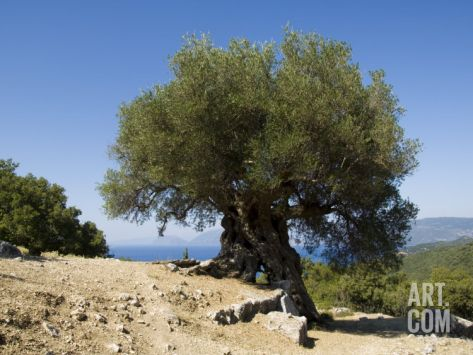 Very Old Olive Tree, Kefalonia (Cephalonia), Ionian Islands, Greece Photographic Print by R H Productions at Art.co.uk