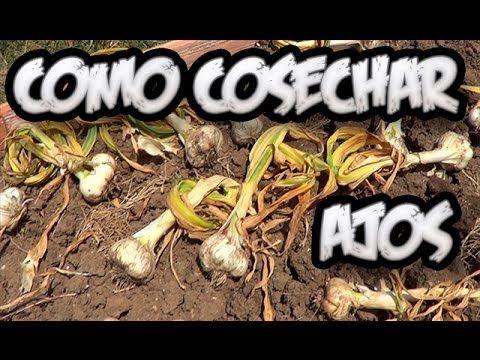 Como Cosechar Los Ajos    La Huertina De Toni - YouTube