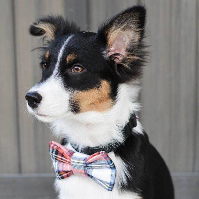 Lady in her very very cute bowtie by @snapindogbows