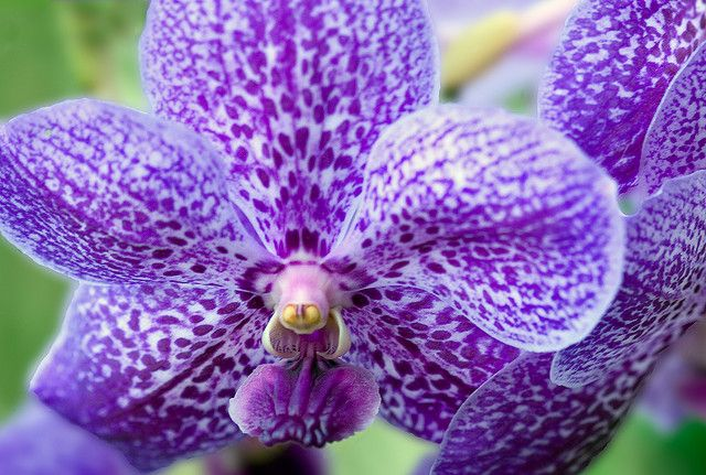 https://flic.kr/p/7jRAnw   Tokyo blue vanda orchid   This was shot at  Orchid World & Tropical Flower Garden, Barbados