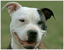 pit bull: Animal Stuff, Pitti Smile, Dogs Breeds, Smile Dogs, Dogs Things, Favorite Animal, Pit Bull, Dogs Owners, Smile Faces