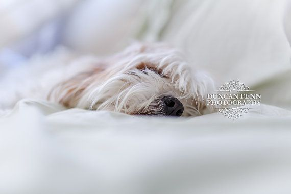 This is our Matalier having a very restful snooze on a Sunday afternoon without a care in the world. Cute Dog Photography.