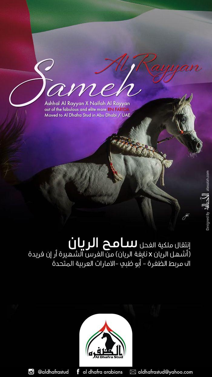الفحل سامح الريان الى مربط الظفرة Arabians Horses Arabian Horse