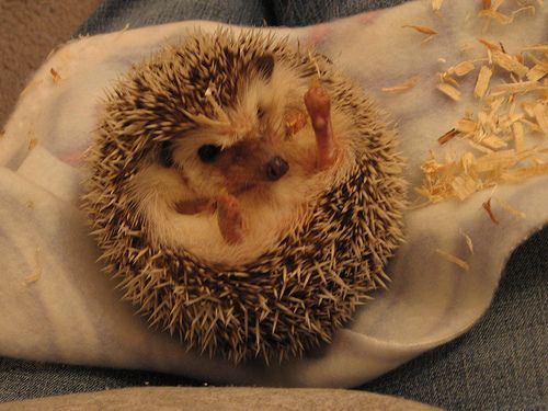 CUTE BABY ANIMALSCute Baby, Names, Pets Pigs, Baby Hedgehogs, Baby Animals, Case, Pet Pigs, Wood Chips, The Roller Coasters