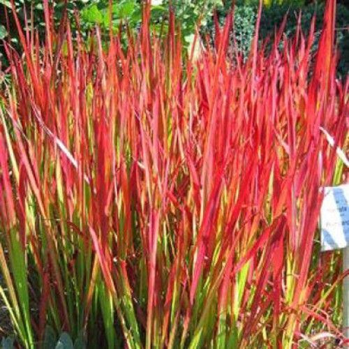 Ornamental grass imperata red baron gr s pinterest for Ornamental grass edging
