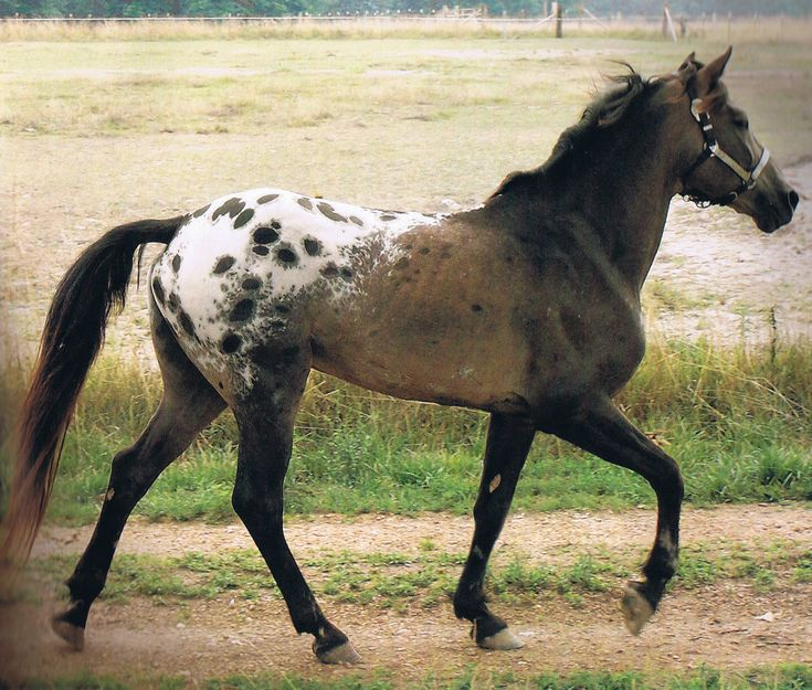 Tiger Horse, a newer spotted breed with an ambling gait meant to recreate the El Caballo Tigre or Soulon Tiger Horse, a spotted gaited horse in Spain in the 16th century.