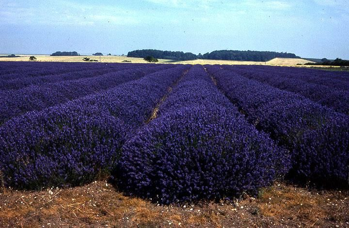 Image result for fields of catnip