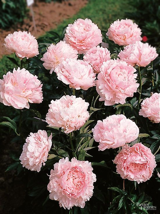 Best 25 florida plants ideas on pinterest florida landscaping florida gardening and tropical - Growing peonies in the garden ...