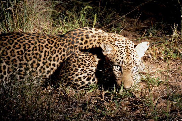 Leopards are mostly nocturnal, hunting their prey at night.