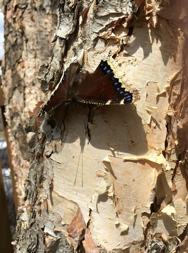 River birch (Betula nigra) - is a food source and habitat for butterflies. This Mourning Cloak drinks the sap when it runs in early spring, before flowers are in bloom