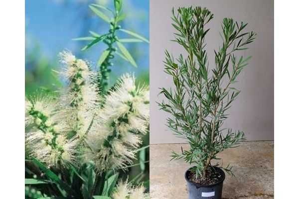 CALLISTEMON WILDERNESS WHITE Beautiful white flowering bottle brush. Hardy and drought tolerant. Great plant to attract native birds to your garden. Bushy Shrub. Can grow to 3m
