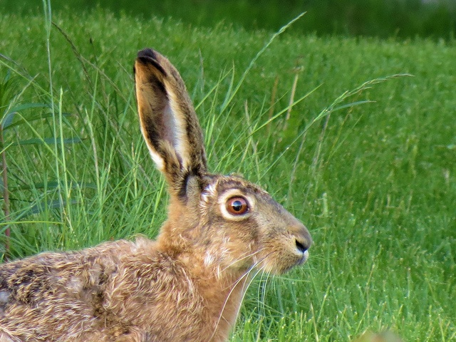 European hare. In night time, hares take over suburbs.