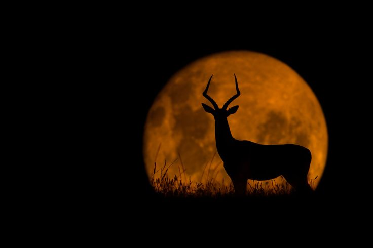Beautiful Silohuette: Mario Moreno, Impala, Silhouettes, Full Moon, Amazing Animal, Beautiful Creatures, Silhouette Photography, Jack-O'-Lantern, The Moon