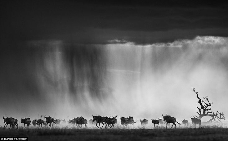 Migrating wildebeest stampede across a Kenyan plane in what Mr Yarrow described as an attempt to capture an impending apocalypse