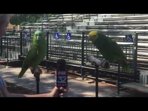 Reporter Interviews Two Parrots, When They Begin To Sing? I Can't Stop Watching This!