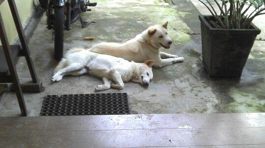 Bobby & Barbie Kintamani dog