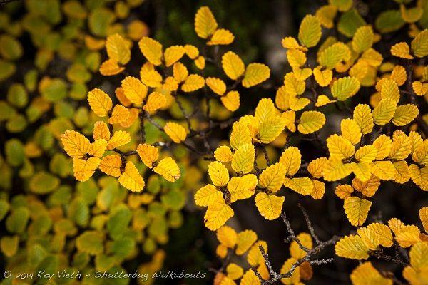 Fagus Weekend - @shutterbugwalks Photography Tour, Mt Field National Park #Tasmania article for think-tasmania.com