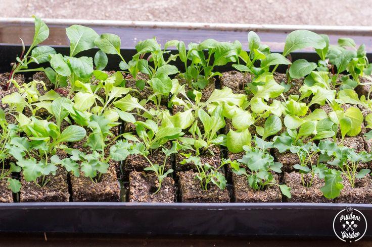 Hardening Off Seedlings For Planting
