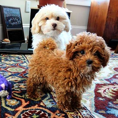 Debbie's Maltipoos | Maltipoo Puppies for Sale | Update on Neva