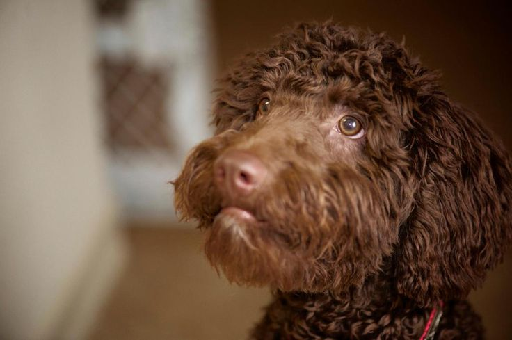 Spanish Water Dog Breed Information - American Kennel Club
