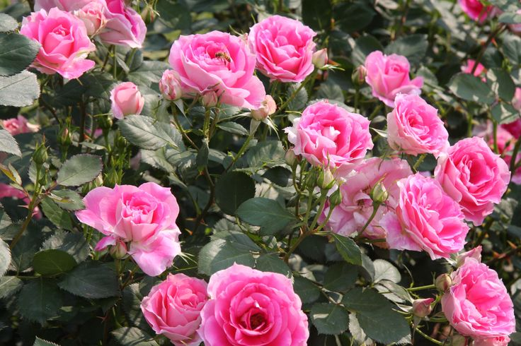 Carefree Wonder Rose #ludwigsroses