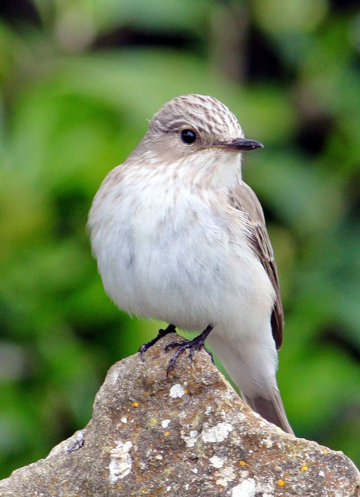 Spotted Flycatcher = Bird Watching Lancashire Information about the nature and wildlife of Lancashire inc, Bird Watching Hare watching, wild flowers, entomology