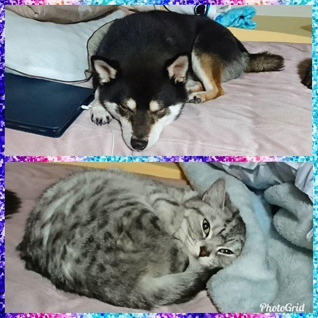 現在の2人🐶😸ホントは隣同士で転がってますよ🤗可愛すぎたので(親バカ😘)見てやってください❕  #リクともも #いぬとねこ #犬と猫 #黒柴 #柴犬 #日本犬 #愛猫 #立ち耳スコ #スコティッシュフォールド #dogandcat #catanddog #shibastagram #dogstagram #catstagram #scothishfold #shibainu #kuroshiba