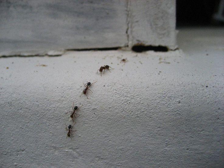 Ako sa zbaviť mravcov vbyte? - Veselé bývanie