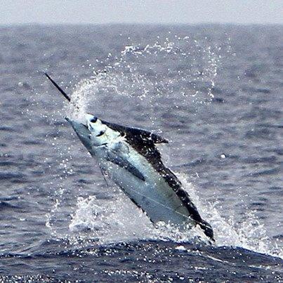 Juegos Acrobaticos  por las cuestas de Canarias: el pez Marlin en las aguas de #LaGomera