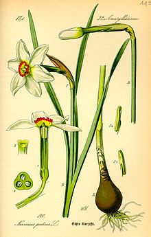 Narcissus (plant) - Wikipedia, the free encyclopedia.  Narcissus /nɑrˈsɪsəs/ is a genus of predominantly spring perennial plants in the Amaryllidaceae (amaryllis) family. Various common names including daffodil,[notes 1] daffadowndilly, narcissus, and jonquil are used to describe all or some members of the genus. Order:Asparagales Family:Amaryllidaceae Subfamily:Amaryllidoideae Tribe:Narcisseae Genus:Narcissus