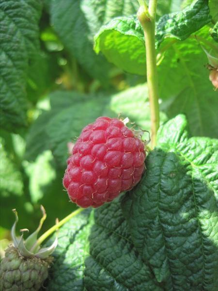 Raspberries - Glen Ample