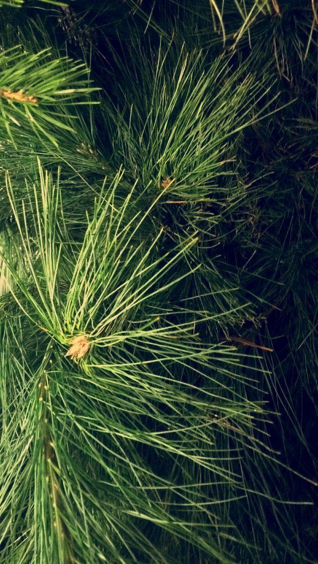 silke furu- Pinus