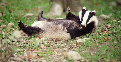 UK Badger