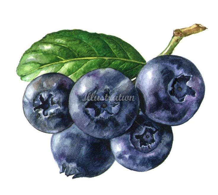 Grapes illustration by Rosie Sanders