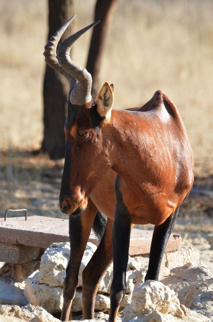 Red Hartebeest Antelope seen near the Nossob Rest Camp.