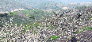 El espectáculo de los valles de cerezos en flor