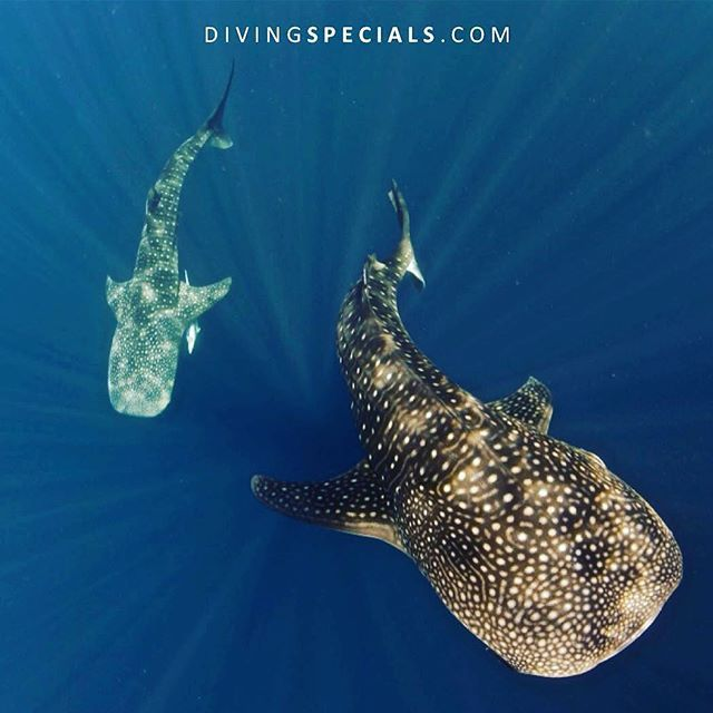 """""""Fascinated by whale sharks? Get to see them in the Maldives (South Ari Atoll), Thailand (Richelieu Rock), Belize, Philippines (Donsol), Mozambique (Tofo) or Seychelles!  Book with us: service@divingspecials.com ❤️  www.DivingSpecials.com  Save up to 50% on worldwide dive trips  #divingspecials #padi #ssi #naui #underwater #uwphotography #scuba #scubadiving #diving #diver #scubadive #buceo #dive #scubapro #ilovediving #passionfordiving #scubalove #love #divemaster #amazing #adventure #sc"""