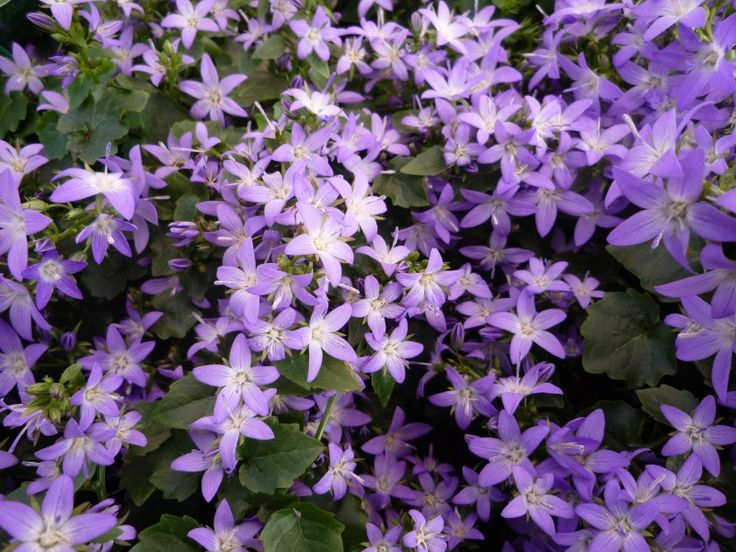 campanula is another California friendly plant that gives you a  lot of bang for your buck. I tuck it here and there into shady areas and watch it spread.