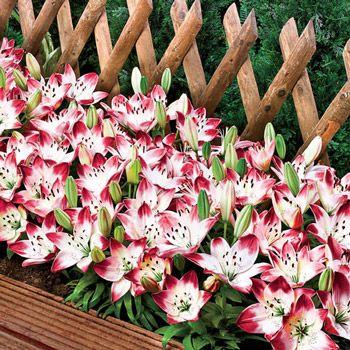 sugar baby carpet border lilyfor zones 3 8 plant a