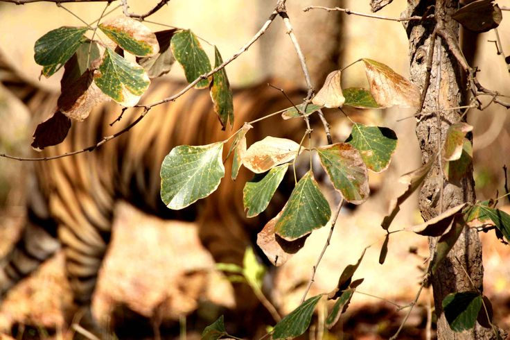 Magical stripes and the beauty behind the bushes & trees - Bagh Sarai Resorts, Bandhavgarh National Park, India Following soft pug Marks of the Tigers. Best place to see wild tigers in wild #baghsarai #bandhavgarh #tigersafari #elephantsafari #tigerphotography #wildtigers #jeepsafari. (c) Image Neeraj Pathania