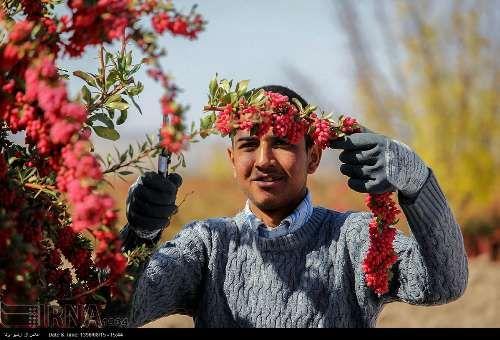 La récolte d épine-vinette au nord-est de l Iran