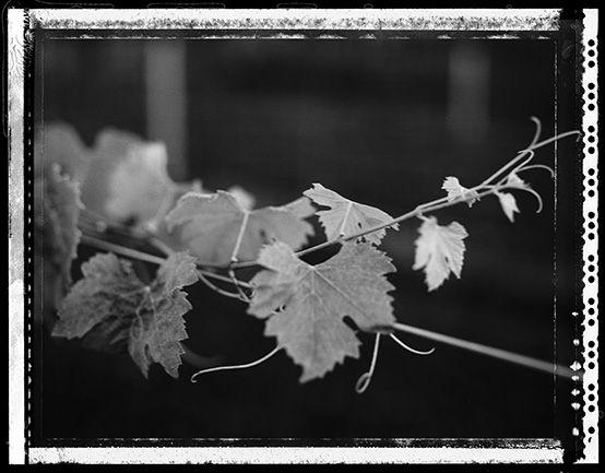 Vine leaves on type 54 polaroid copyright Craig Arnold photography