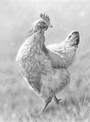Light sussex hen pencil drawing by nolon stacey