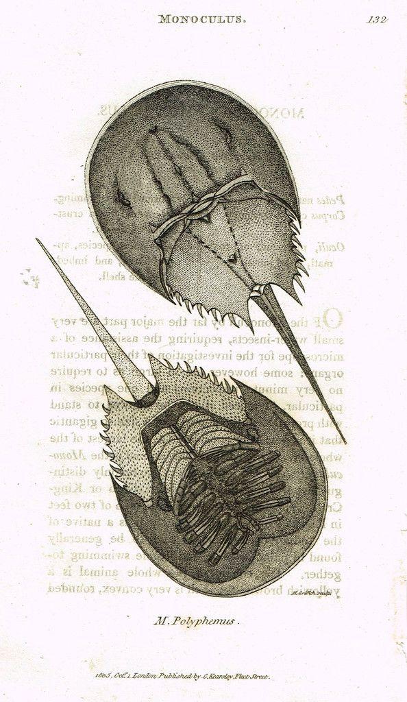 "Shaw's General Zoology - (Seashells) - ""POLYPHEMUS - CRAB"" - Copper Engraving - 1805"