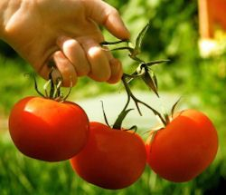 Growing Tomatoes: {Tip Sheet}